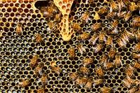 Visite d'une apiculture